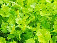 Orientální bylinka koriandr se pěstuje pro listy i semena Jamie Oliver Cook Book, Growing Coriander, Jamie's 15 Minute Meals, Domestic Goddess, Organic Farming, Korn, Parsley, Gardening, Cooking