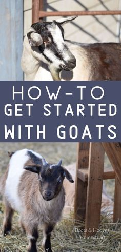 How to Raise Goats on a Small Farm For a homesteader or small land owner, goats make an excellent livestock option. And maybe you're wondering, how to raise goats? This guide will help you find the information you need when raising goats of your own. Raising Cattle, Raising Goats, Raising Chickens, Small Goat, Small Farm, Tiny Farm, Small Small, Alpine Goats, Goat Shelter