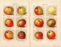 1931 FRUITS APPLES Antique print | eBay
