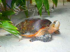 Seychelles turtle in white sand Praslin Seychelles, Seychelles Islands, Seychelles Holidays, Holiday Hotel, Beaches In The World, Amphibians, Animal Kingdom, Turtle, Sea