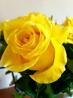 391 Best Yellow Roses Images In 2019 Beautiful Flowers Yellow