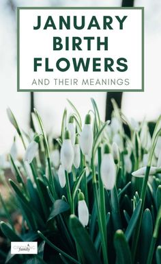 Do you know your birth flower? Just like birthstones, there are flowers for each month of the year. We take a look at the birth flowers for January and explore their symbolism. #flowers #birthflowers #growingfamily