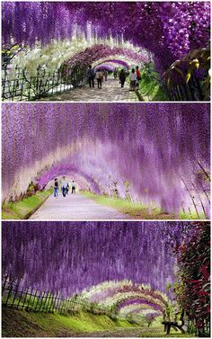 wisteria tunnel-japan