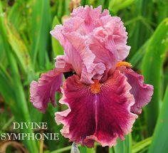 TB Iris germanica 'Divine Symphonie' (Chapelle, 2014)