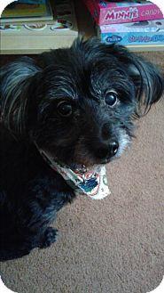 Ypsilanti, MI - Poodle (Miniature)/Lhasa Apso Mix. Meet Teddie a Dog for Adoption.