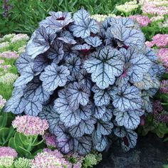 "Glitter Heuchera Add a bit of glam to your garden. Stunning bright, silvery foliage accented with black veins forms tidy, mounded clumps up to 16 inches tall. Add bright fuchsia bouquet-type flowers from June to September and you have an absolute show-stopper. 3"" pot 1 FOR $10.95 3 FOR $29.95"