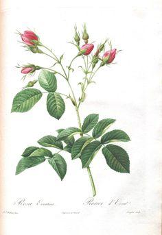 Botanical - Flower - Les Roses 47