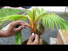 8 Gambar Bonsai Coconut Terbaik Kelapa Bonsai Tanaman