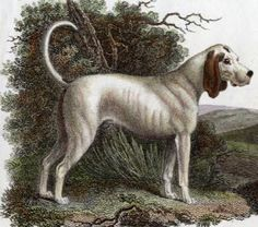 Talbot extinct hunting dog. The Talbot hound was the pure white predecessor of the modern Beagle and Coonhound. The Talbot was a slow but thorough scent hound, which was closely related to the bloodhound, and thought to be absorbed into that breed over time.