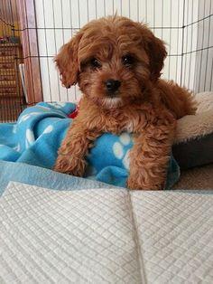 Gorgeous colour....Cavoodle Puppy ♥
