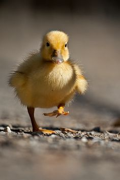Duck by Robert Adamec