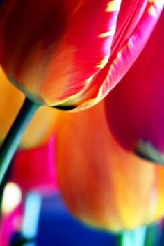 'Farbenfroh' von Heidrun Lutz bei artflakes.com als Poster oder Kunstdruck $16.63 #Frühling #Tulpen #Bunt