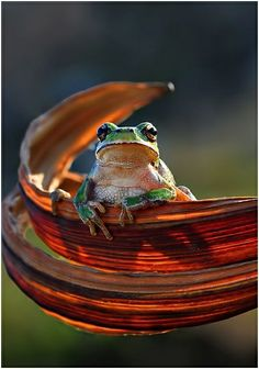 """Frog """"Onlooker"""" by Mustafa Ozturk Funny Frogs, Cute Frogs, Beautiful Creatures, Animals Beautiful, Cute Animals, Reptiles And Amphibians, Mammals, Photo Animaliere, Frog And Toad"""