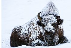 American Nature Photography Workshops :: WINTER in YELLOWSTONE TOUR