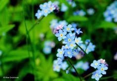 pomněnka, květiny, Blumen