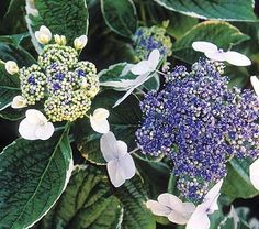 Light O Day , Lacecap Hydrangea with variegated leaves