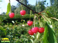 Prunus cerasus 'Sikkola', surkörsbär. Finskt urval. Mörkrött körsbär som mognar tidigt. Självfertilt. Zon: III (IV)