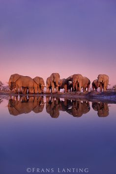 African elephants at waterhole, Loxodonta africana, Chobe National Park, Botswana