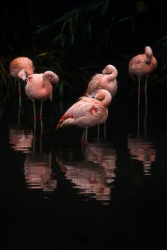 Gorgeous photo in PINK and BLACK! Enlarge this photo of Flamingos on Black - really large so it covers a whole wall! Imagine that photo on a dining room wall! Or in a restaurant, bar o Pretty Birds, Beautiful Birds, Animals Beautiful, Pretty In Pink, Flamingo Wallpaper, Flamingo Art, Pink Flamingos, Flamingo Photo, Flamingo Painting
