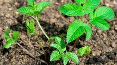Bršlice kozí noha (Aegopodium podagraria) pomáhá při onemocnění dnou Ard Buffet, Wild Edibles, Pesto, Plant Leaves, Flora, Smoothies, Remedies, Health Fitness, Herbs