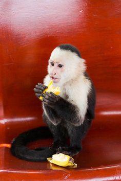 Meet Cashew, the cheeky capuchin monkey at Zopango Island on Lake Nicaragua.