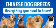 Find out all about Chinese Dog breeds you may not have considered: appearance, character, needs and history. Which Chinese Dog Breed is right for you? The post Chinese Dog Breeds: 10 Charming Breeds That You'll Love appeared first on CanineWeekly.com.