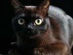 Burmés El burmés es un gato divertido, juguetón y leal orientado principalmente a vivir con personas. Son inteligentes, curiosos y activos, y se dice que las hembras pueden desarrollar un mayor vínculo emocional con sus protectores. Son plácidos y les gusta mucho descansar. Tienen una voz rasposa, que hace parecer como si estuvieran roncos. Tienen diferentes tonalidades de color, pero la más usual es la marrón caramelo.
