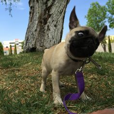 Cleo, Pug, baby, funny day, Park day, pets