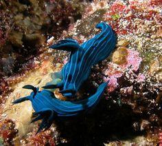 Nudibranchia in Galapagos / Nudibranquios en Galápagos