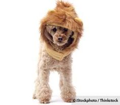 Charles the Monarch becomes a minor celebrity after he was mistaken for a baby lion running loose in the streets. http://healthypets.mercola.com/sites/healthypets/archive/2013/04/17/funny-dog-story.aspx