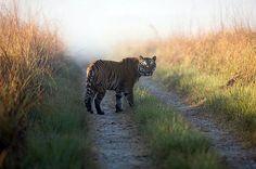 A tiger strolling around Corbett National Park, India - Pixdaus