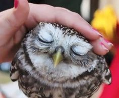 Owl enjoying attention