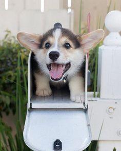 Surprise Corgi  #corgi #corgisofinstagram #puppy #puppiesofinstagram #cutedogs