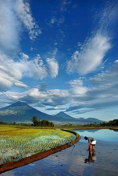 Rice fields - Temanggung, Indonesia