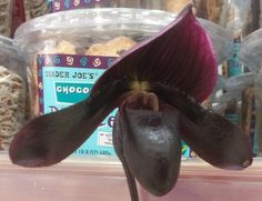 Chocolate colored orchid flower #Chocolate orchid flower, #orchid, #flower,