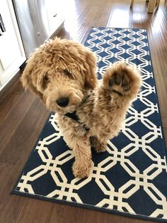 goldendoodle in this color Animals And Pets, Baby Animals, Funny Animals, Cute Animals, Cute Puppies, Cute Dogs, Dogs And Puppies, Doggies, Beagle Puppies