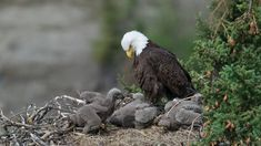Eagle Wallpaper, Bird Wallpaper, Animal Wallpaper, Baby Bald Eagle, Fan Picture, King Baby, Life Form, Live Wallpapers, Eagles