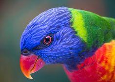 https://flic.kr/p/GjQrue | Rainbow Lorikeet | at Currumbin Wildlife Sanctuary, QLD Australia