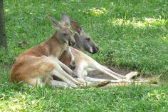 kangaroo   File:Red kangaroo pair.jpg - Wikimedia Commons