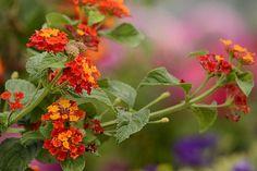 Orange Lantana by Ann Bridges