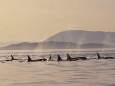 Orcas off the San Juan Islands