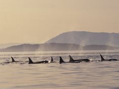 San Juan Islands - Orcas in Washington - Island Travel Orcas, Evergreen State, San Juan Islands, All Nature, Killer Whales, Washington Usa, Whale Watching, Caribbean Sea, Chiaroscuro