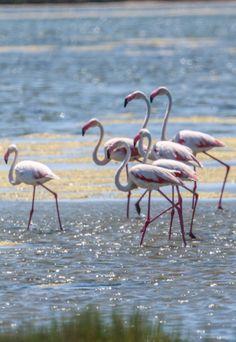 Flamingos, Aigues-Mortes, France