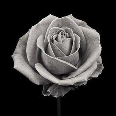 Pink Rose, Study VII