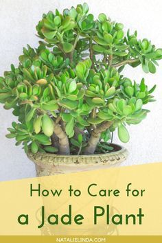 You can grow a jade plant in your home or in your outdoor garden! Jade can be grown as an indoor succulent, so learn how to care for jade with this how-to guide! Types Of Succulents, Growing Succulents, Planting Succulents, Outdoor Plants, Outdoor Gardens, Succulent Garden Diy Indoor, Succulent Care, Jade Plant Care, Jade Plants