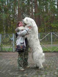 Caucasian georgian not russian mountain dog on pinterest russian