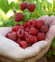 'Heritage' red raspberry - bears medium-sized fruit in July and September. The stiff, upright canes need little support and it is known for its excellent ability to produce a fall crop.