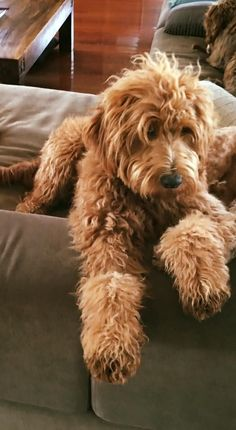 Monique NEEDS: Australian Cobberdog Secret, lounging on a rainy day. Small Puppies, Cute Dogs And Puppies, Baby Dogs, I Love Dogs, Doggies, Dog Training Bells, Training Tips, Animals And Pets, Cute Animals