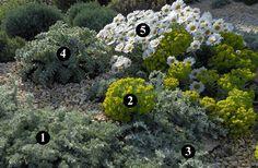 1 : Artemisia lanata  2 : Euphorbia myrsinites  3 : Artemisia lanata  4 : Glaucium flavum  5 : Rhodanthemum hosmariense
