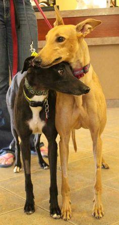 Beautiful Winnie and Cha Cha - Southern Arizona Greyhound Adoption -